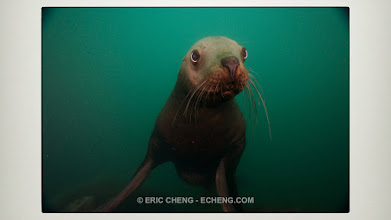 Photo: Stellar's sea lions: Alaska