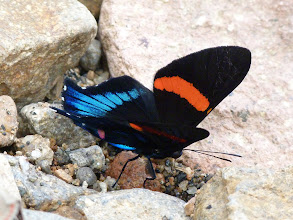Photo: BLUE-AND-YELLOW BEAUTYMARK--ancyluris inca formosa--RIO CHALUAYACU