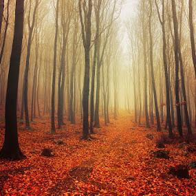 Autumn Walk LVI. by Zsolt Zsigmond - Landscapes Forests ( autumn, fog, fall, path, trees, forest, woods, light, mist )