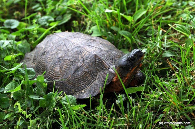 Photo: Wood Turtle, Emerald Lake State Park