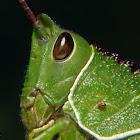 Grasshopper nymph