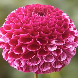 Dahlia 8988~ by Raphael RaCcoon - Flowers Single Flower