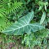 Angel's Wing, White Vein Arrow Leaf