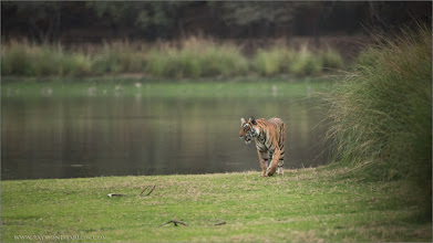 Photo: Royal Bengal Tiger Cub of T19 RJB India Photo Tours www.raymondbarlow.com 1/1250s f/4.0 at 400.0mm iso2500   #tiger #india #ranthambore #raymond #nature #wildlife #wildlifephotography #wildography #travel #adventure #googlephotos