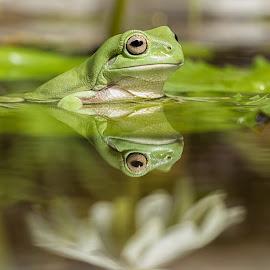 Green Tree Frog (Hyla cinerea) by Teddy Winanda - Animals Amphibians ( reflection, nature, frog, green, green tree frog, animal )