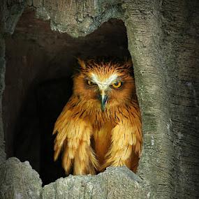owl epk1.jpg