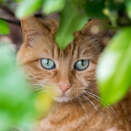 Hide and Seek by Ray Fitzpatrick - Novices Only Pets ( cat, ginger, pet, eyes, animal )