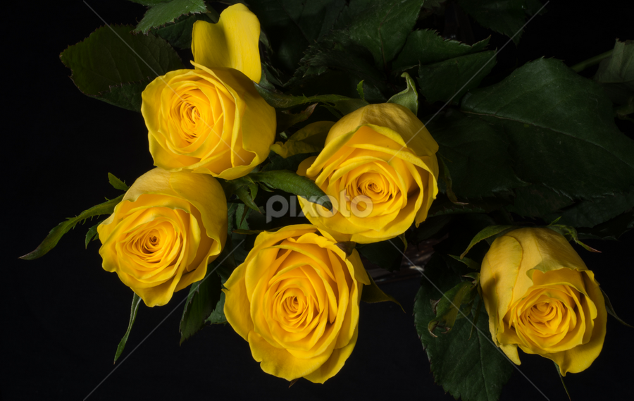 Yellow Rose`s  by P P - Nature Up Close Flowers - 2011-2013 ( colour, rose, thorn, yellow, flower )