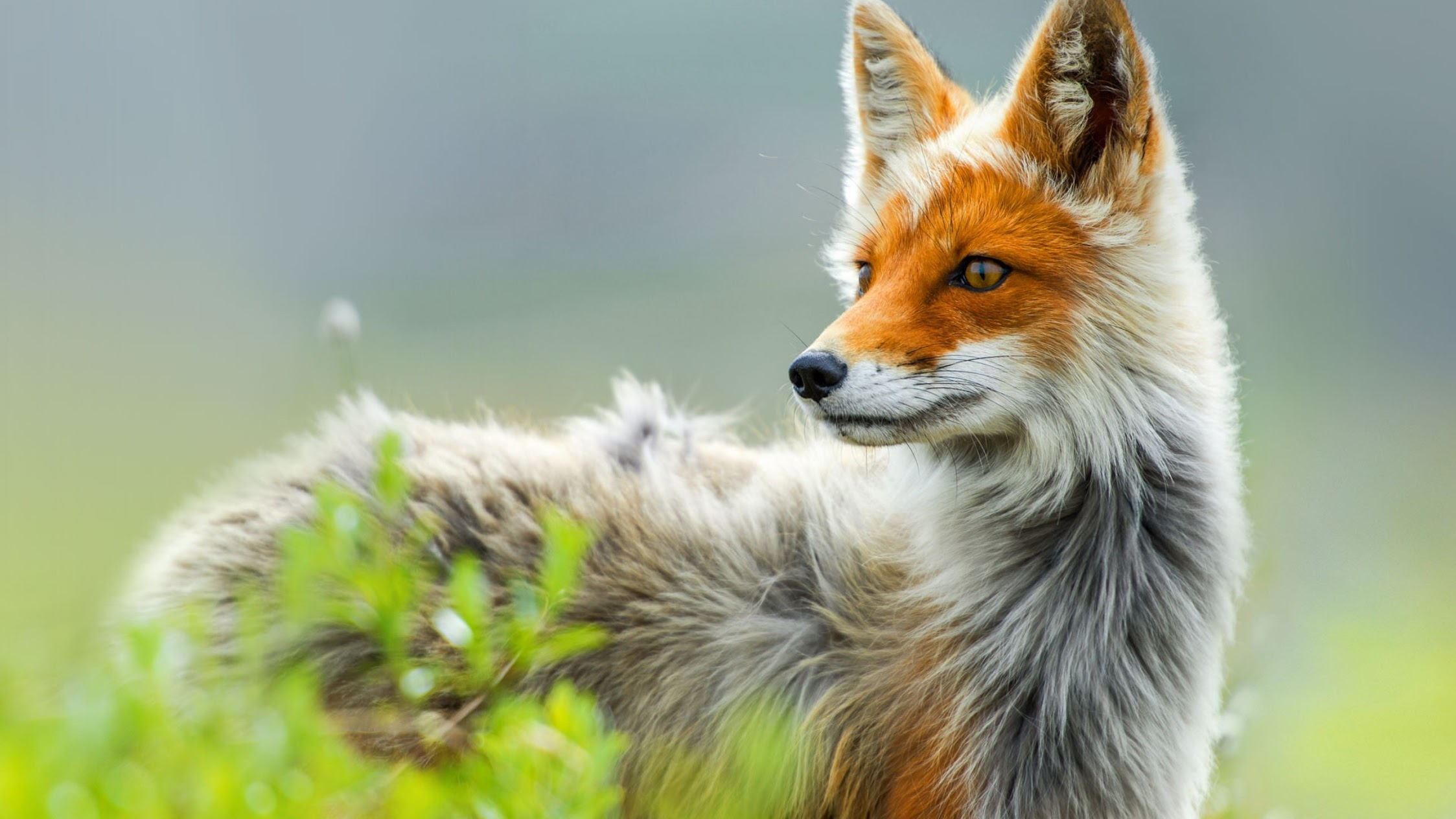 red fox hd wallpapers - photo #8