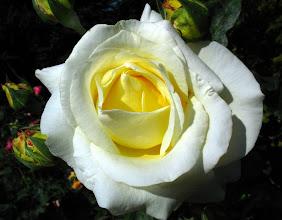 Photo: róża
