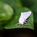 Virginia Tiger Moth