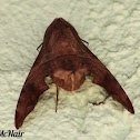 Mournful Sphinx Moth