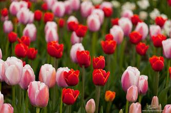 Photo: Sea of Tulips