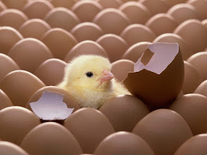 Photo: Cute little chick.