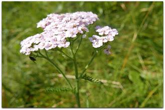 Photo: achillea millefolium ssp. millefolium (Eigentliche Gewöhnliche Schafgarbe, weiss) - Fundort: Schladminger Tauern