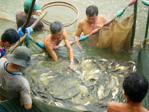Mùa cá đồng ở vùng đệm Vườn quốc gia U Minh Thượng