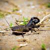Whip Scorpion (Alakdan in Philippines)