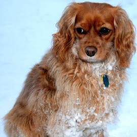 Snowy dog by Theresa Murray - Animals - Dogs Portraits
