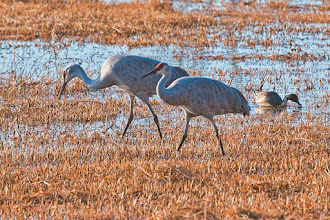 Photo: Sandhill cranes on the flooding fields