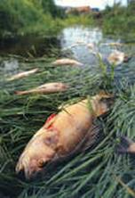 Peixe morto pela eutrofização