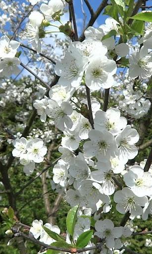 Branch of cherry wallpaper