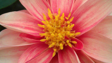 Photo: Dahlia Hybrid - Colbrook Nurseries