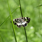 White-banded black moth