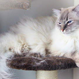 It's Exhausting Being a Cat by Lena Arkell - Animals - Cats Portraits ( snoozing, ragdoll, sleeping cat, cat, sleeping,  )