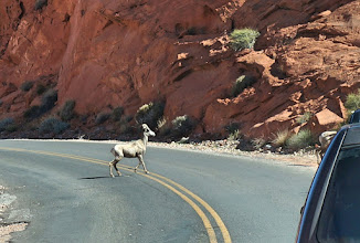 Photo: Bighorn sheep we saw on the park road just north of the Visitor Center.