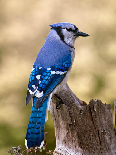 A blue jay alights on a tree stump in Atlantic Canada.