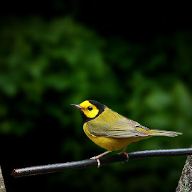 Hooded Warbler by Paul Mays - Animals Birds (  )