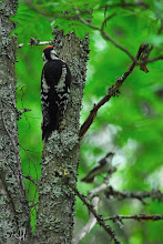 Photo: A young Great Spotted Woodpecker hiding from a European Pied Flycatcher defending its nest.