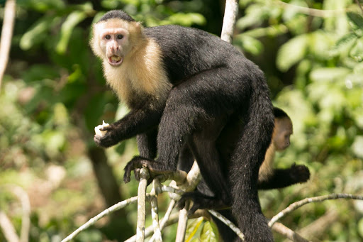 A white-faced capuchin has something to say at Monkey Island in Panama.