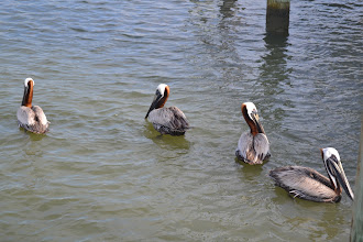 Photo: pelicans waiting for fish guts