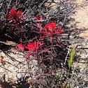 Desert Indian Paintbrush