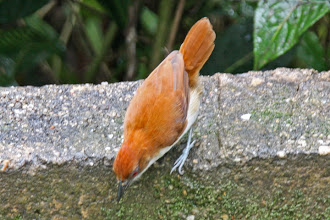 Photo: Great Antshrike (female)