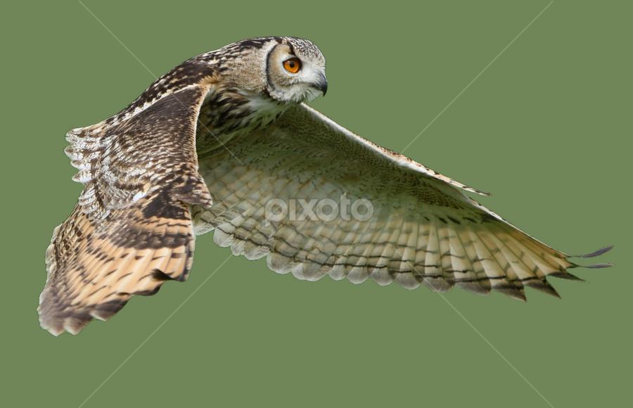 Owl in flight by Helen Matten - Animals Birds ( flight, solid, sage, green, background, owl, in, owl in flight.,  )