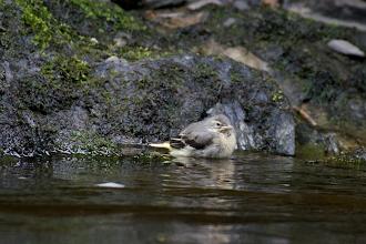 Photo: 10. Grey Wagtail