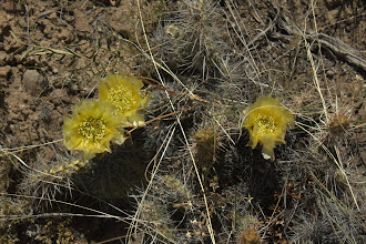 Photo: Blooming cactus
