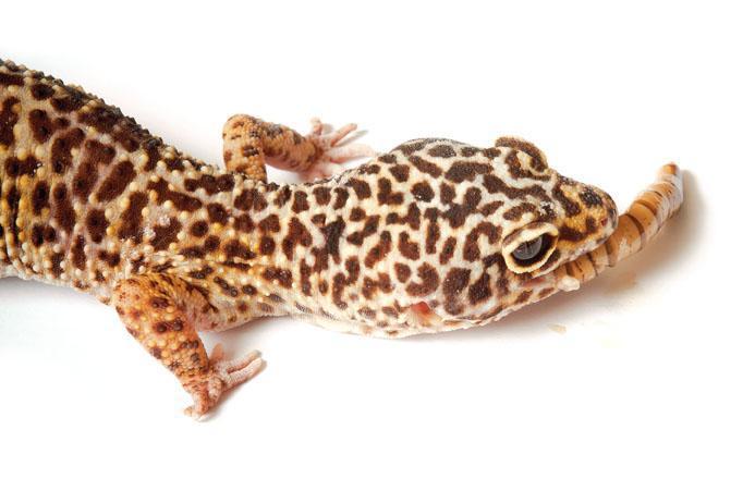 Image result for leopard gecko EATING