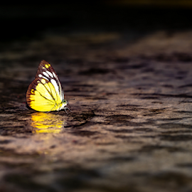 solo butterfly by Md Aziman Abd Aziz - Animals Insects & Spiders ( caterpillar, moth, butterfly, fauna, insects, colorful wings )