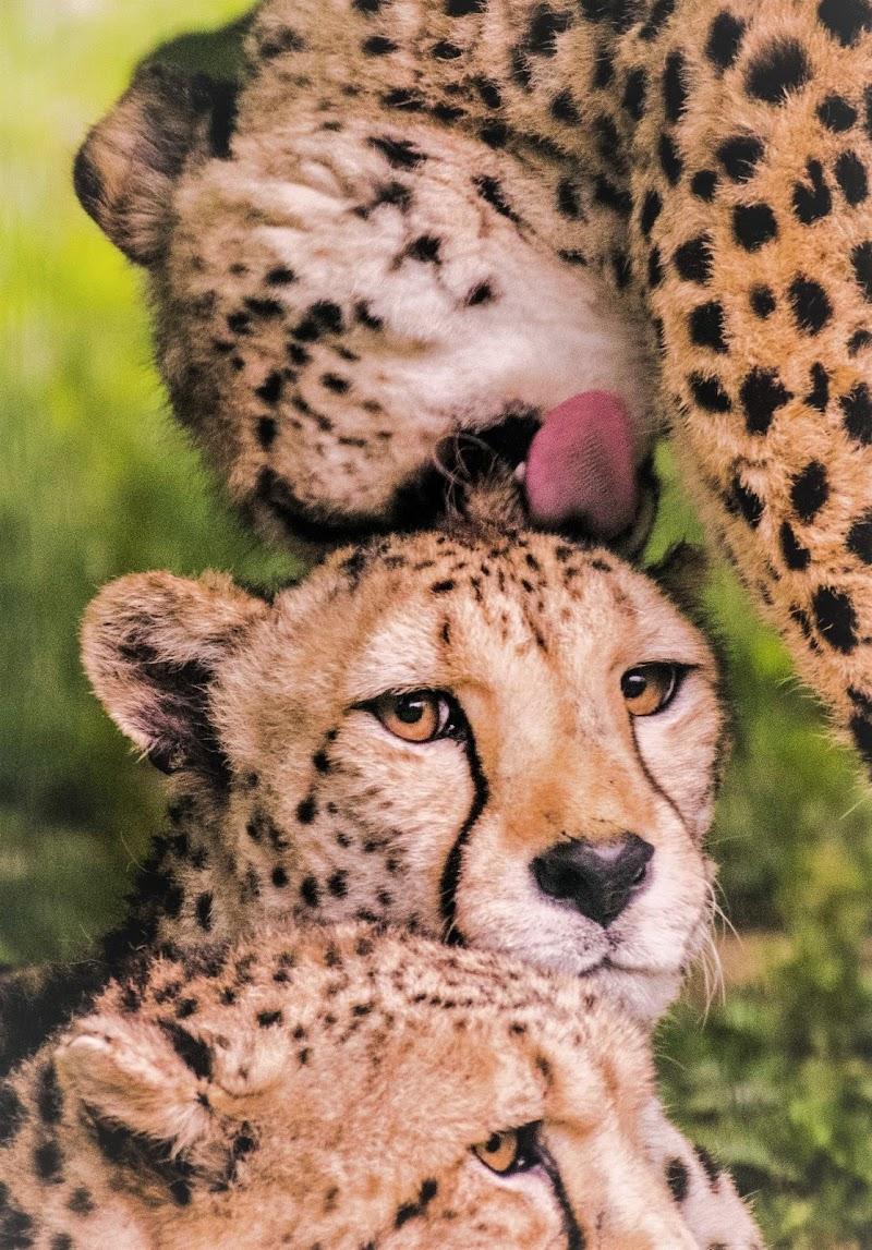 occhi felini di arturo aiello