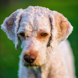 Cute dog by Stefan Sorean - Animals - Dogs Portraits ( small, pretty, young, purebred, nature, happy, canine, cute, puppies, home, domestic, beautiful, white, puppy, mammal, background, baby, animal, dog, pet, funny, adorable, little )