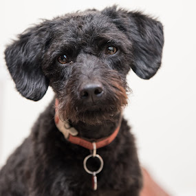 Pet Portrait by Anthony Ashcroft - Animals - Dogs Portraits ( minature, pet, labradoodle, puppy, portraits, dog, portrait, black,  )