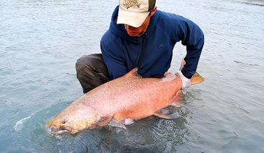 Photo: Nigel Fox of Alaska Drift Away Fishing about to release a 50 plus pound Kasilof King salmon.