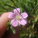 Native geranium