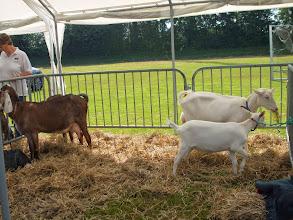 Photo: Inzending witte geiten van J. Hogervorst en nubische geiten van fam. Suijdendorp.