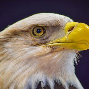 Majestic Eagle by Deborah Lucia - Animals Birds ( beak, feathers, bird, eagle, bald-eagle,  )