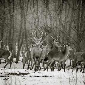 Carphatian stags  by Adrian LUPSAN - Animals Other ( animals, carphatian, winter, stag )