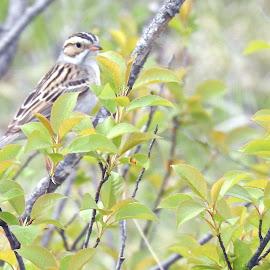 Sparrow by Jaliya Rasaputra - Animals Birds